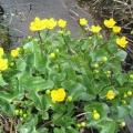 Caltha-palustris (souci d'eau)
