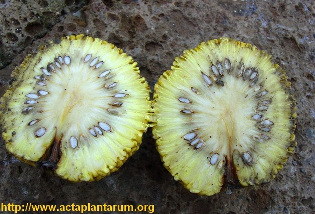 intérieur du fruit (pomifera)